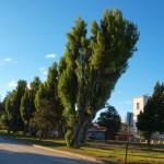 Дърветата на наклонени на една страна от редовния и силен вятър