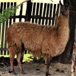Срамежлива лама