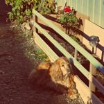 Хиперактивната Софи, рядко спокойна в градината