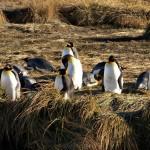 Кралските пингвини