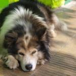 Красив пес