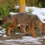Смела лисица